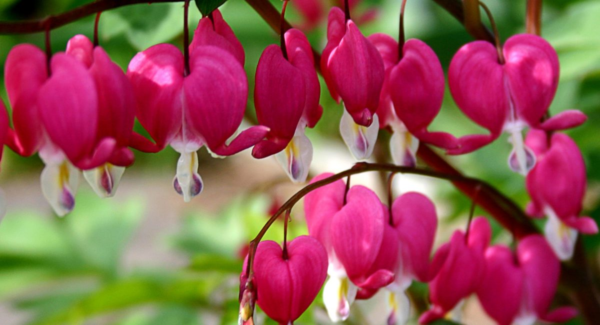 A line of bleeding heart blossoms dangling from a delicate branch
